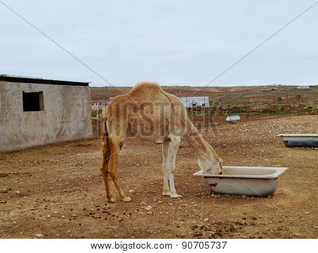 A young Arabian camel in a paddock