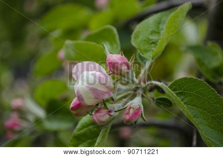 Apple Tree Blossoms. Spring Flowers.
