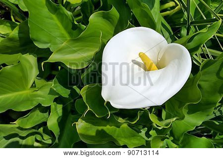 Beautiful Calla Flower