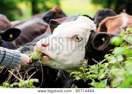 Young Bull , Cow Eating Grass From Hands, Clouseup