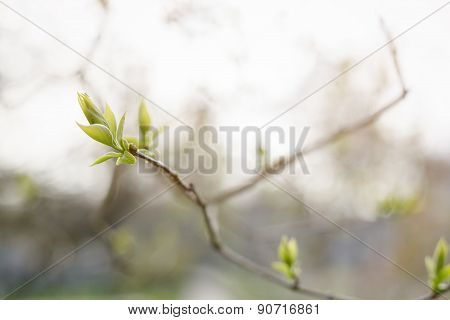 closeup lilac buds in spring, sunny photo