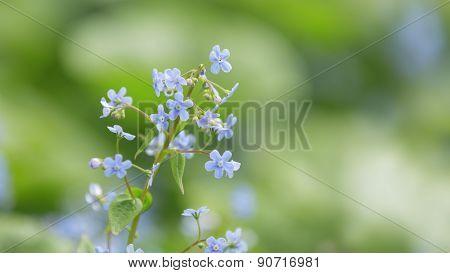 brunerra flowers in bloom close up