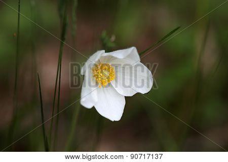 Snowdrop Anemone (anemone Sylvestris)