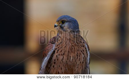 Kestrel perching