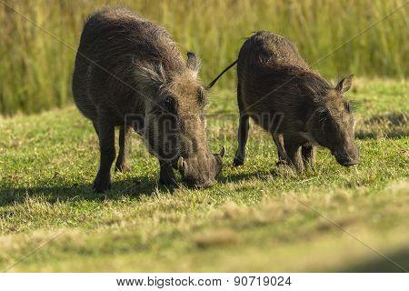 Warthogs Wildlife