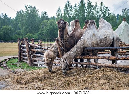 Two-humped Camels.nomad Camp