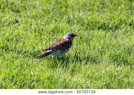 Snowbird On The Green Grass