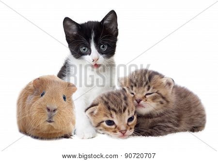 Kittens And Guinea Pig