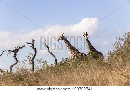 Giraffes Wildlife