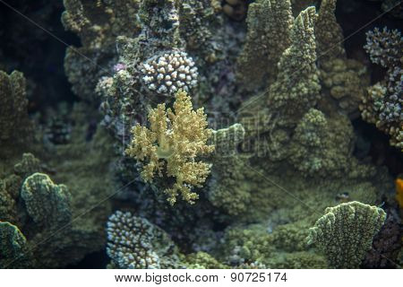red sea reef and yellow broccoli coral