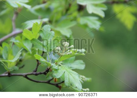 Branch Of A Hawthorn With Leaves And Inflorescences On A Green Background