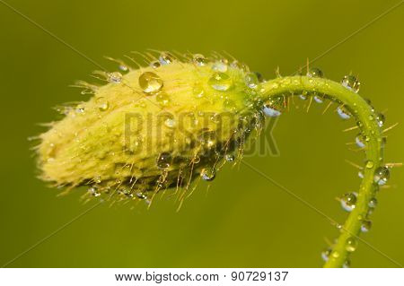 Green Poppy Heads With Water Droplets