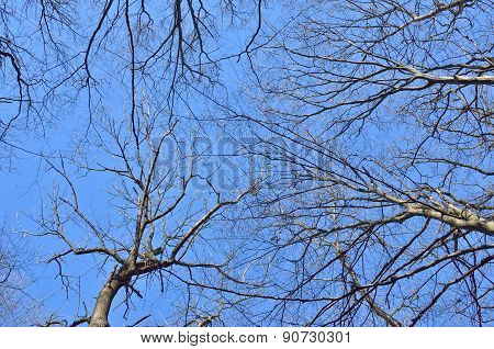 Tree Branches Against The Blue Sky In Spring In Forest