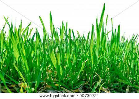 Stalks Of Grass Isolated On White Background.