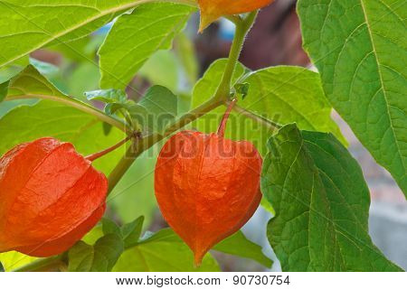Physalis Red Ripe In The Garden In Autumn