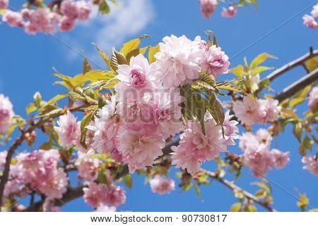 Sakura Blossoms Against A Blue Spring Sky.