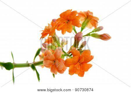 Orange Flowers Of Kalanchoe Isolated On White Background