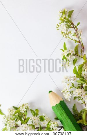 beautiful cherry blossoms on the branches on a white background with green pencil