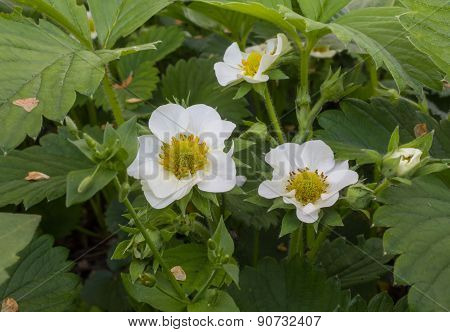 Blooming Strawberry Close-up