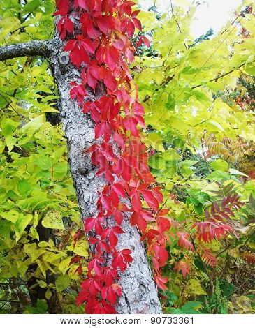 Red Leaves On Tree With White Bark