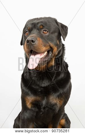 A Beautiful Rottweiler Portrait Inside A House