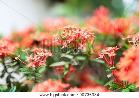 Ixora Small Flower In Sun Light