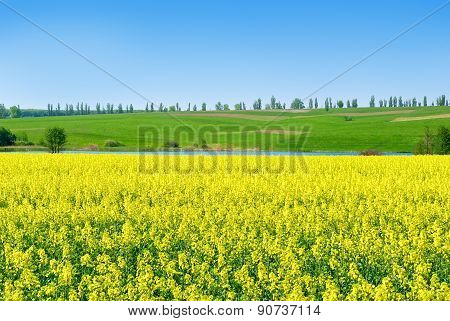 Canola,rape Crop On The Background Of The Blue Sky