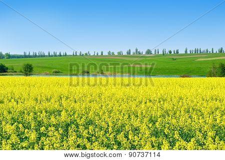 Canola,rape Crop On The Background Of The Blue Sky