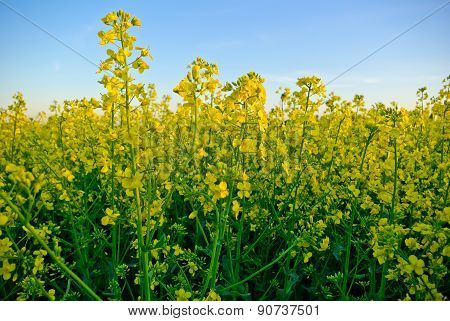 Rape Crop On The Background Of The Blue Sky