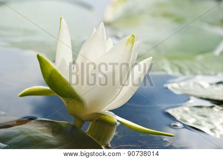 White Water Lily Blossom Among Green Algae In The Lake.