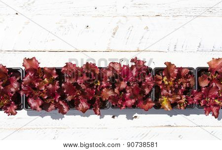 Young Lollo Rosso Lettuce Plants On White Background