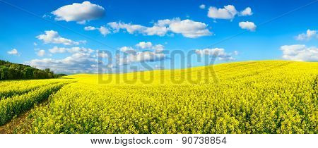 Vast Field Of Blossoming Rapeseed, Panorama