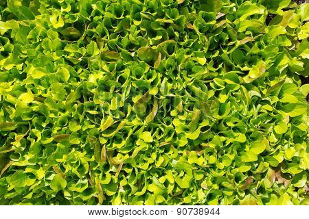 Fresh Green Young Lettuce Growing Mixed Salad Leaves