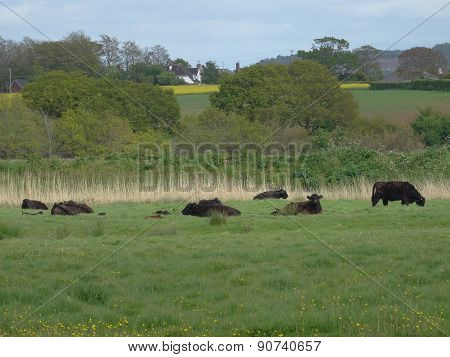 Cows Within Rural Tree Lined Landscape