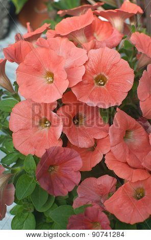 Dusty Orange Petunia Flowers