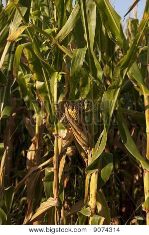 Corn Stalk and Ear Vertical