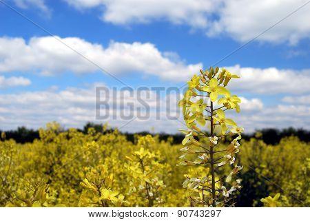 Cavolo Nero Crop in Flower