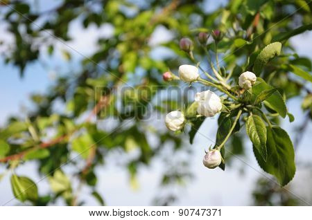 Apple Tree Flower Blossoming