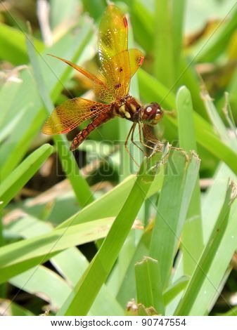 Male Eastern Amberwing Dragonfly on Blade of Grass