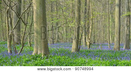Bluebell carpet on woodland floor