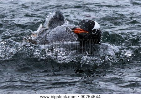 Gentoo penguin swimming