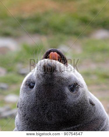 Antarctic Fur Seal Pup