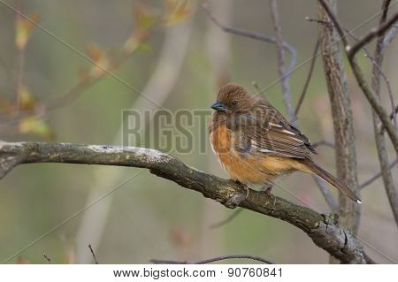 Eastern Towhee, Female