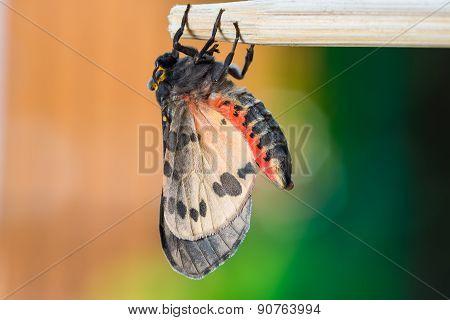 Newly Born Olepa Ricini Moth