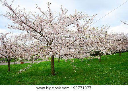 Beautiful Pink Cherry Blossom In Vilnius City