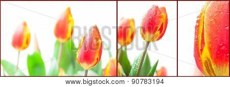 Set Of The Isolated Red Tulips