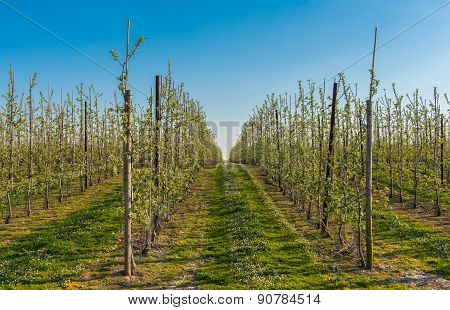 Orchard Filled With Blooming Apple Trees