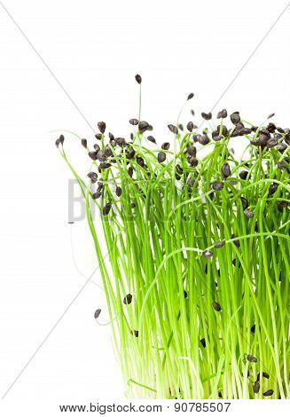 Isolated Bunch Of Garlic Chives
