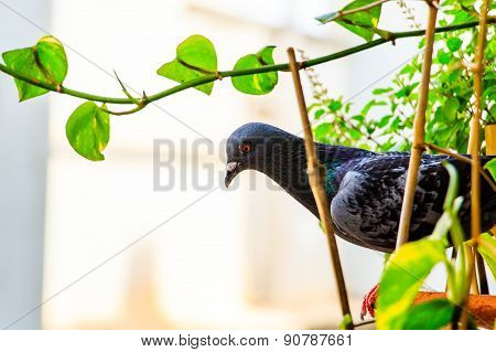 A sharp gaze of the pigeon surrounded by green plants around it