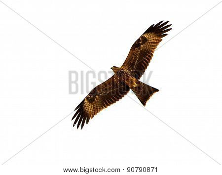 Magnificent eagle in flight with its wings spread out